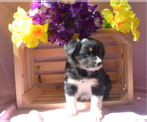Australian Shepherd-Unknown Mix Puppy for sale in MILLERSBURG, OH, USA
