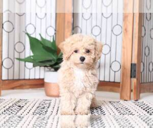Poochon Puppy for Sale in NAPLES, Florida USA