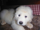 Great Pyrenees Puppy For Sale in BLUE CREEK, Ohio,