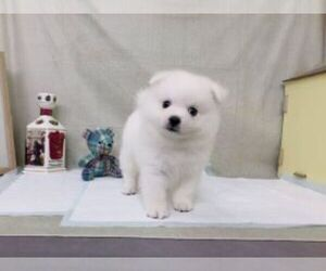 Japanese Spitz Puppy for sale in SAN DIEGO, CA, USA