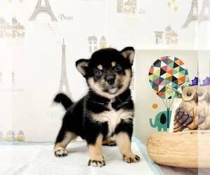 Shiba Inu Dog for Adoption in ROWLAND HEIGHTS, California USA