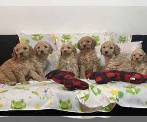 Poodle (Miniature) Puppy for sale in PARKLAND, WA, USA