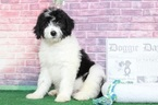 Carson Charming Male Aussiedoodle Puppy