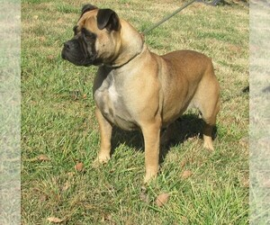 Bullmastiff Puppy for sale in CHANUTE, KS, USA