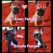 French Bulldog Puppy For Sale in MANTECA, CA,