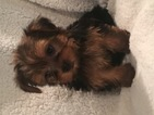 Yorkshire Terrier Puppy For Sale in OLLA, LA, USA