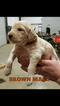 Goldendoodle Puppy For Sale in CLARKSVILLE, TX