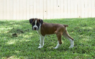 View Ad Boxer Litter Of Puppies For Sale Near South Carolina