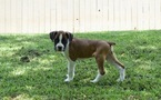 Boxer Puppy For Sale in WESTMINSTER, SC,