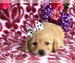 Goldendoodle Puppy for sale in CLAY, PA, USA