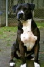Tiffany - American Staffordshire Terrier Dog For Adoption