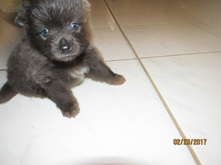 Pomeranian Puppy For Sale in HOUSTON, TX