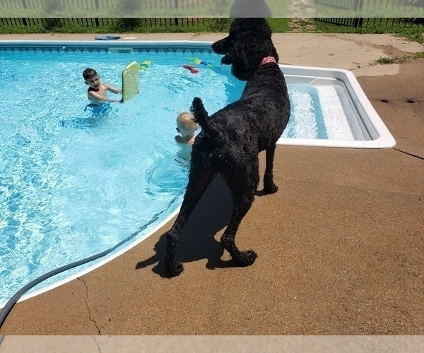 Medium Photo #20 Poodle (Standard) Puppy For Sale in DYERSBURG, TN, USA