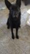 German Shepherd Dog Dog For Adoption in CLAREMONT, NC, USA