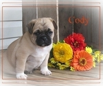 Small Photo #2 Pug Puppy For Sale in VICTORIA, VA, USA