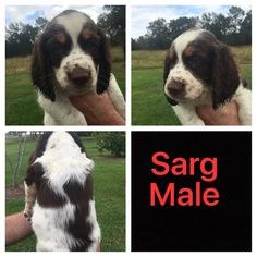 English Springer Spaniel Puppy For Sale in IOTA, LA, USA