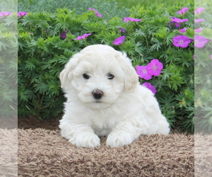 Poodle (Miniature)-Sheepadoodle Mix Puppy for sale in STRASBURG, PA, USA