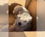 Small #4 Maltipoo-Poodle (Miniature) Mix