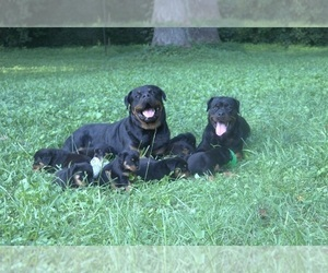 Rottweiler Puppy for sale in MABLETON, GA, USA