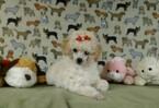 Poodle (Toy) Puppy For Sale in NORTH, NC, USA