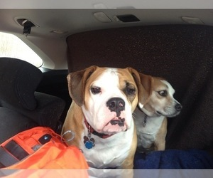 Beagle-English Bulldog Mix Dog For Adoption in MAPLE VALLEY, WA, USA