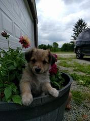 Yorkie-Poo Puppy For Sale in LIGONIER, PA, USA