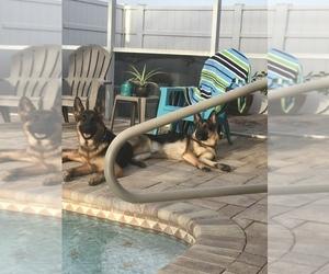 German Shepherd Dog Puppy for sale in GRAND PRAIRIE, TX, USA