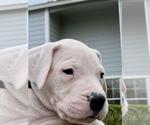 Small #11 Dogo Argentino