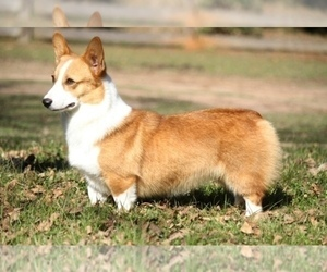 Mother of the Pembroke Welsh Corgi puppies born on 10/02/2019