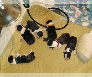 Boston Terrier Puppy for sale in SPENCERVILLE, IN, USA