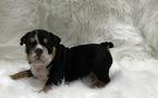 Bulldog Puppy For Sale in STREAMWOOD, IL