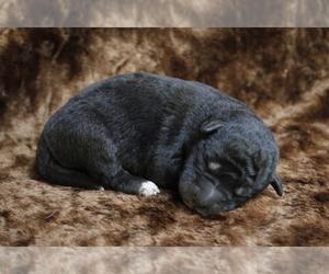 Wolf Hybrid Puppy for Sale in SAINT IGNATIUS, Montana USA