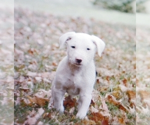 Border Collie Puppy for sale in CAMDEN, OH, USA
