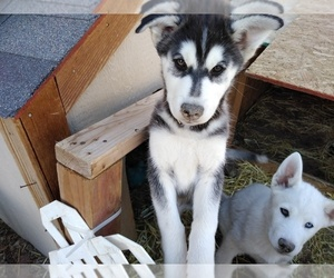 Alusky Puppy for sale in FORT COLLINS, CO, USA