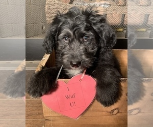 F2 Aussiedoodle Puppy for Sale in ARBA, Indiana USA