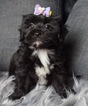 Shorkie Tzu Puppy For Sale in WARSAW, IN, USA