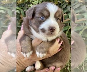 Australian Shepherd Puppy for Sale in VACAVILLE, California USA