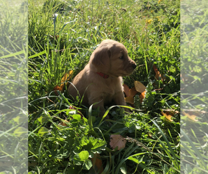 Golden Retriever Puppy for Sale in SALEM, Oregon USA