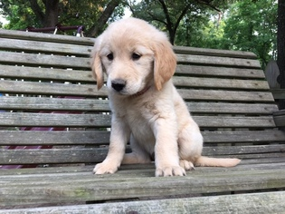 golden retriever texas view ad golden retriever puppy for sale texas nacogdoches 4233