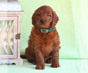 Irish Setter-Poodle (Miniature) Mix Puppy for sale in NEWMANSTOWN, PA, USA
