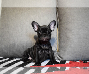 French Bulldog Puppy for sale in Belgrade, Central Serbia, Serbia