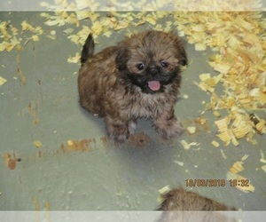 Shih Tzu Puppy for Sale in CARROLLTON, Georgia USA