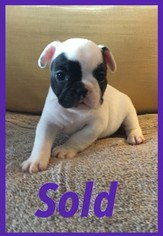 French Bulldog Puppy For Sale in METAIRIE, LA, USA