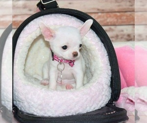 Chihuahua Puppy for sale in HANFORD, CA, USA