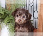 Small #1 Yorkie-Poo