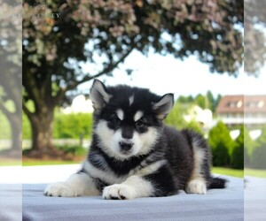 Alaskan Malamute Puppy for sale in GAP, PA, USA