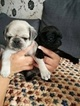 Pug Puppy For Sale in FAIRFIELD, CA, USA