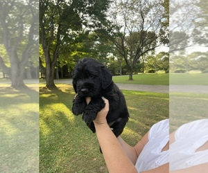 Golden Retriever-Labradoodle Mix Puppy for Sale in FAIRHOPE, Ohio USA