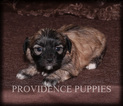 Zuchon Puppy For Sale in WAYLAND, IA, USA