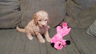 Golden Doodle Mix Puppy For Sale in NORTH LIBERTY, IN, USA